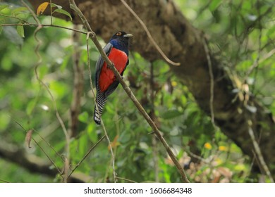 Male trogon perched on a branch in Amazon Rainforest in Cuyabeno Wildlife Reserve, Ecuador.