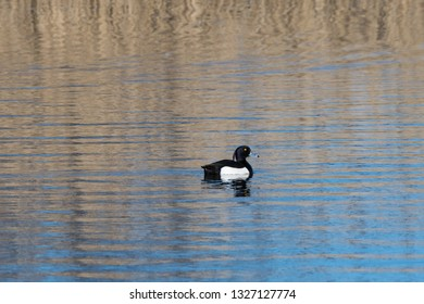 Male Tufted Duck, Aythya fuligula, in a pond by spring season