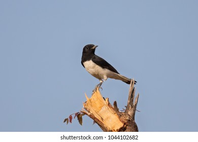 A male Variable Wheatear (Oenanthe picata) perched on a broken branch against a clear blue sky, Gujarat, India