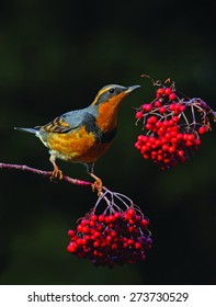 A male varied thrush feeds on the bright red berries of a mountain ash tree.