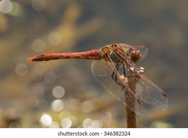 A male Variegated Meadowhawk dragonfly perches on a short upright stem with the bokeh of a glistening pond behind.