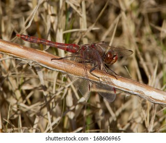 Male Variegated Meadowhawk dragonfly (Sympetrum corruptum) perched on dead vegetation in the heart of a South Texas winter in Bexar County near San Antonio, Texas