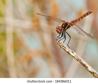 Male Variegated Meadowhawk dragonfly (Sympetrum corruptum) perched on a stick on a wetland near San Antonio (Bexar County), Texas