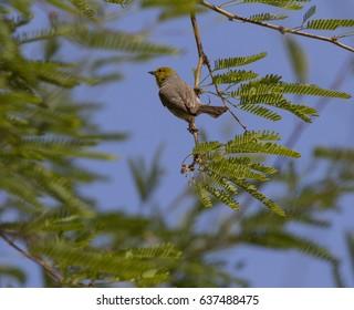 A male Verdin in Phoenix, Arizona