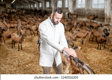 Male veterinarian in uniform taking care of the beautiful goats of alpine breed in the big stable of the milk farm