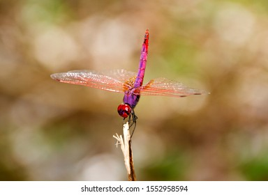 A male Violet Dropwing regularly uses the same perching point at the waters edge to look for prey and to ward off other males from his territory whilst waiting to attract females to mate with