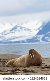 Male Walrus lying on a beach on Svalbard, arctic Norway.