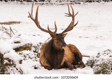 A male wapiti with big antlers sitting in the snow
