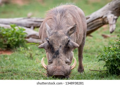 Male Warthog standing in the grass in the Welgevonden game reserve, South Africa.