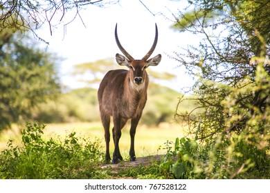 Male Water buck in Serengeti National Park, Tanzania