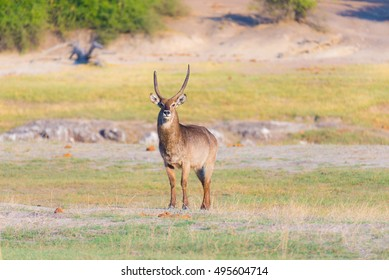 Male Waterbuck in the bush looking at camera. Wildlife Safari in the Chobe National Park, majestic travel destination in Botswana, Africa.
