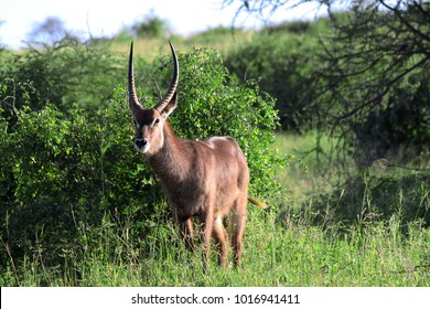 Male Waterbuck (Kobus ellipsiprymnus) antelope, Tarangire National Park, Tanzania