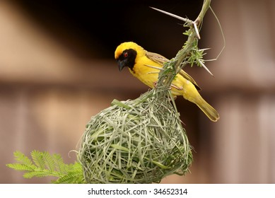 Male Weaver sitting on top of its nest.
