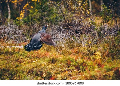 Male of western Capercaillie in colorful fall forest in Finland