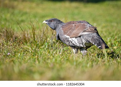 Male western capercaillie (Tetrao urogallus) on mowed meadow during food intake.