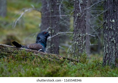 Male Western capercaillie in wild Lapland, Finland