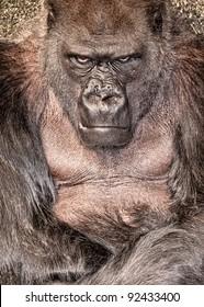 Male Western lowland gorilla (Gorilla gorilla gorilla) in an angry mood