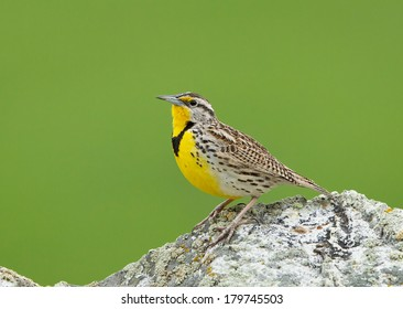 A male western meadowlark perches on top of a large rock as it prepares to sing.