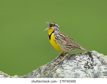 A male western meadowlark sings from the top of a large rock.