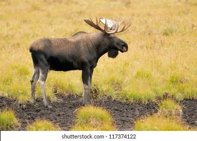 Male Western moose portrait (Alces alces andersoni). Kananaskis, Alberta, Canada, North America