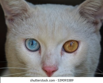 A male white cat with odd eyes, yellow and blue