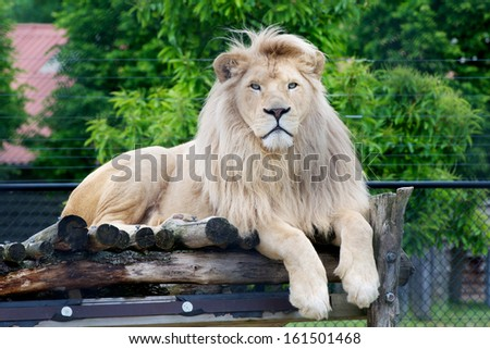 Male white lion lying down