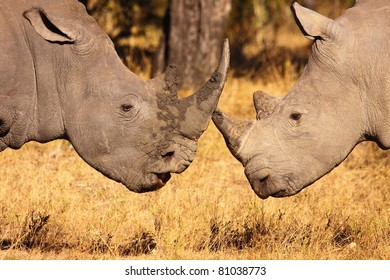 Male white rhino close up
