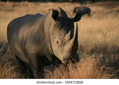 A male white rhino relaxing in the bushes in Pilanesberg National safari and nature reserve.