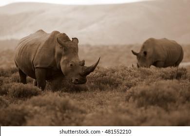 A male white rhinoceros / rhino follows a female white rhino / rhinoceros. He opens his lips and smells. Taken on safari in South Africa