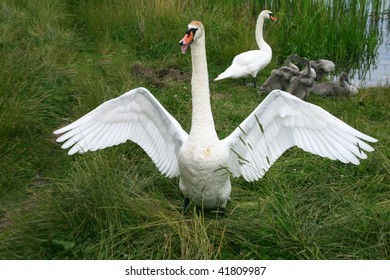 The male of a white swan protects  family.