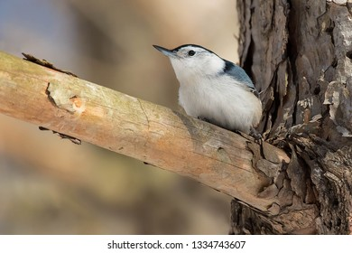 A male White-breasted Nuthatch is perched on a dead branch sticking out of a live tree trunk.