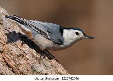 A male White-breasted Nuthatch perching on a rotting tree trunk