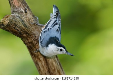 Male White-breasted Nuthatch (Sitta carolinensis) perched on a dead branch - Ontario, Canada