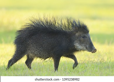 Male White-lipped Peccary (Tayassu pecari) with bristles raised in threat at Baia das Pedras, in the wetlands of the Pantanal, Brazil.