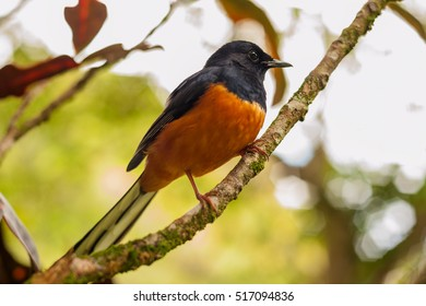 Male white-rumped shama bird.