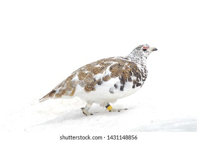 A male White-tailed Ptarmigan wanders across the snow high in the Rocky Mountains of Colorado.