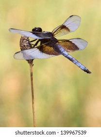 A male Widow Skimmer dragonfly (Libellula luctuosa), perched on the seed head of a flower in Austin (Travis County), Texas