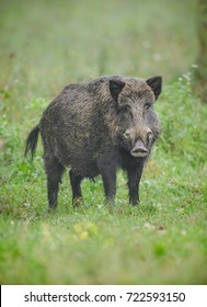 A male wild boar looks directly at the camera while out in dew covered grass