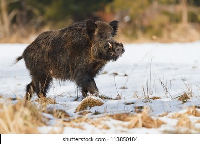 Male wild boar in the snow, Bavaria