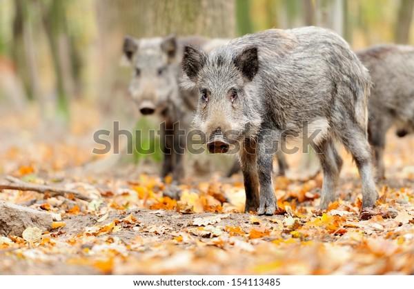 Male wild boar in winter, in the forest