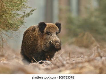Male wild boar in winter, in the frosty forest
