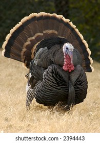 A male wild turkey with his feather fanned out.