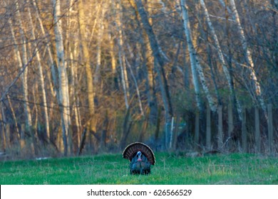 Male Wild Turkey (Meleagris gallopavo) strutting with fan tail out in Wisconsin during the spring mating season