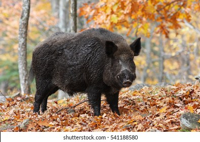 Male Wild-boar in autumn forest