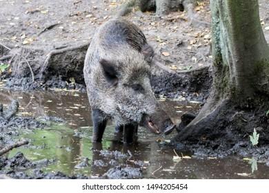 Male Wild-boar digs in the mud in european  forest