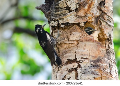 A male williamson's sapsucker next to young in tree nest, Colorado.