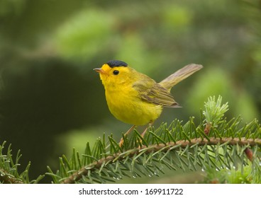 A male Wilson's warbler perches briefly on a Douglas fir branch in the Cascade Mountains of Washington state