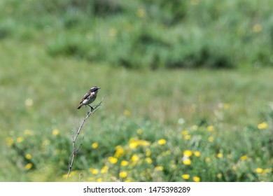 Male Winchat, Saxicola rubera, sitting on a twig with a green natural blurred background at the island Oland in Sweden