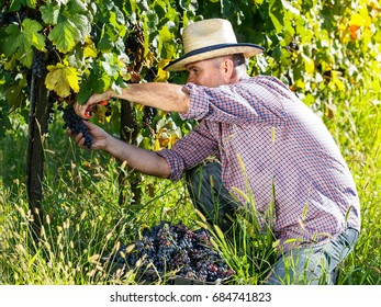 Male winemaker cuting grapes