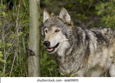 Male Wolf in the Montana woods